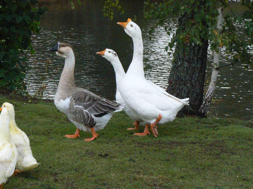 Где купить гусей в Санкт-Петербурге?