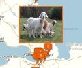 Где купить овцу или козу в Санкт-Петербурге?